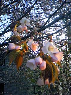 桜が咲きました♪