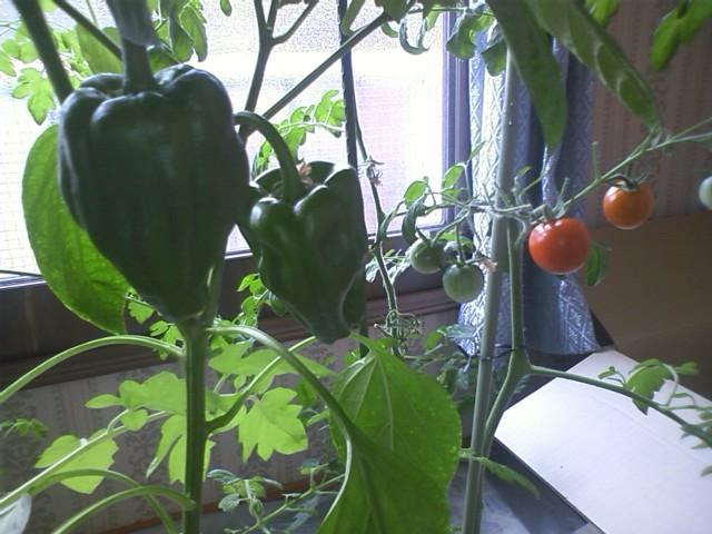 室内家庭菜園報告④