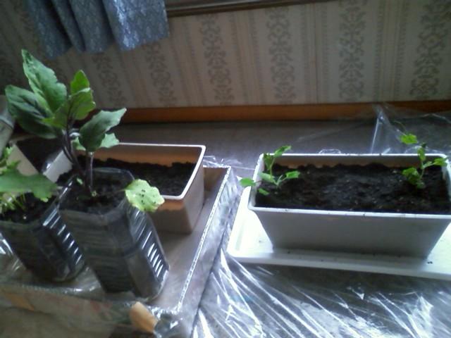 2011室内家庭菜園②