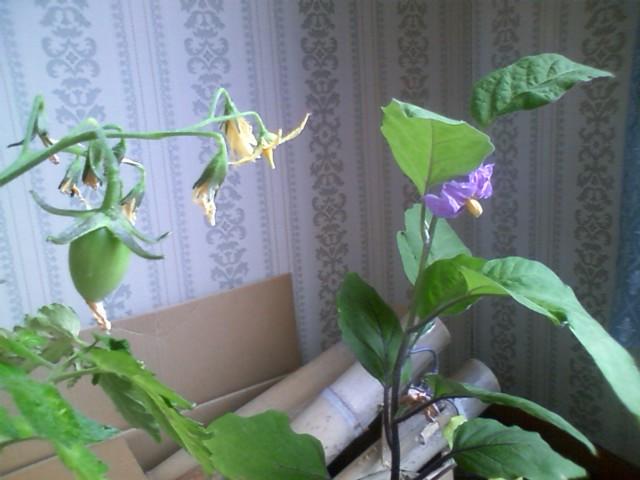 2011室内家庭菜園③
