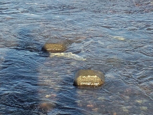 地元で旭川鮭の遡上♪