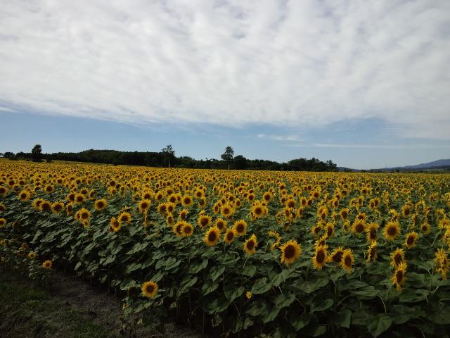 日本一の向日葵畑